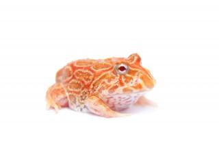 Cranwelli Schmuckhornfrosch