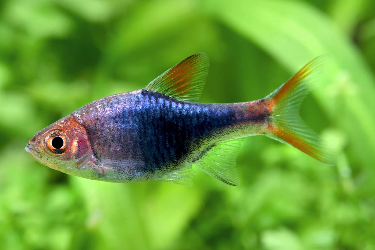 "Blauer Keilfleckbärbling - Trigonostigma heteromorpha var. ""blue"""