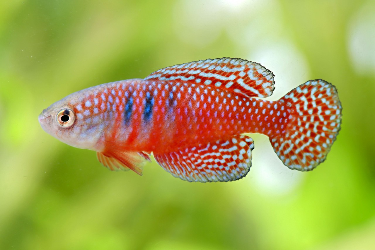 Gemalter Killifisch - Hypsolebias (Simpsonichthys) picturatus