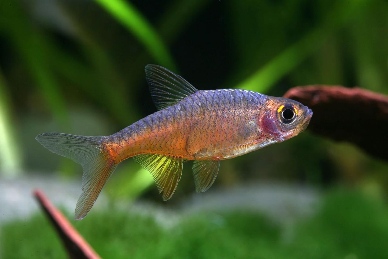 Perlmuttbärbling - Rasboroides (Rasbora) vaterifloris