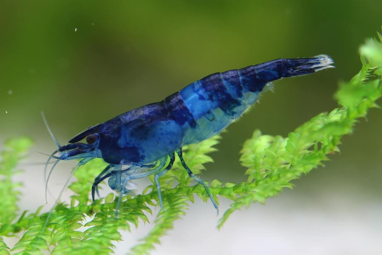"""Zwerggarnele """"Rili"""" Blue - Neocaridina davidi"""