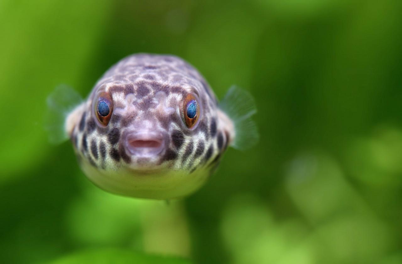 Kongo Leopardkugelfisch - Tetraodon schoutedeni - DNZ