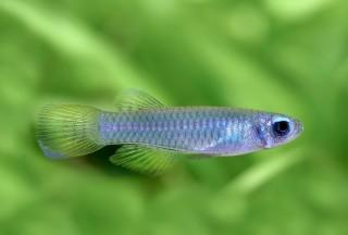 Normans Leuchtaugenfisch - Aplocheilichthys normani