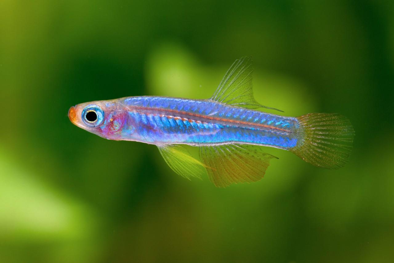 Brichards Leuchtaugenfisch - Congopanchax (Poropanchax) brichardi