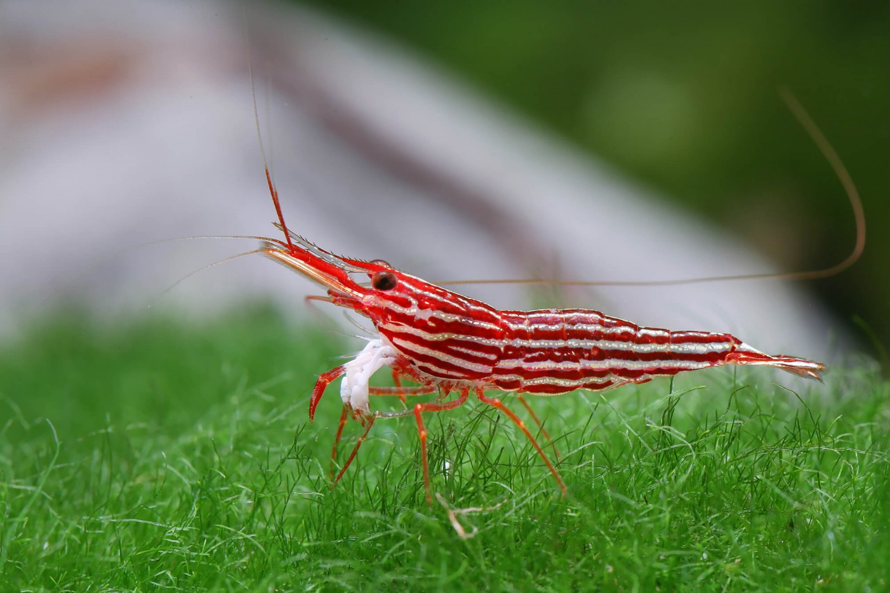 "Sulawesi ""Mantano red line"" - Caridina striata"
