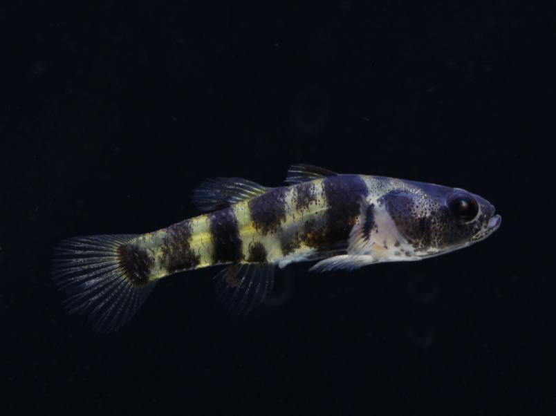 Ozelot Grundel - Brachygobius spec.