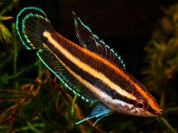 Sumatra Prachtgurami - Parosphromenus sumatranus