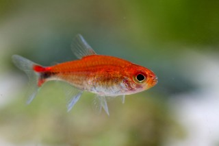 Roter Pfeffersalmler - Axelrodia stigmatias