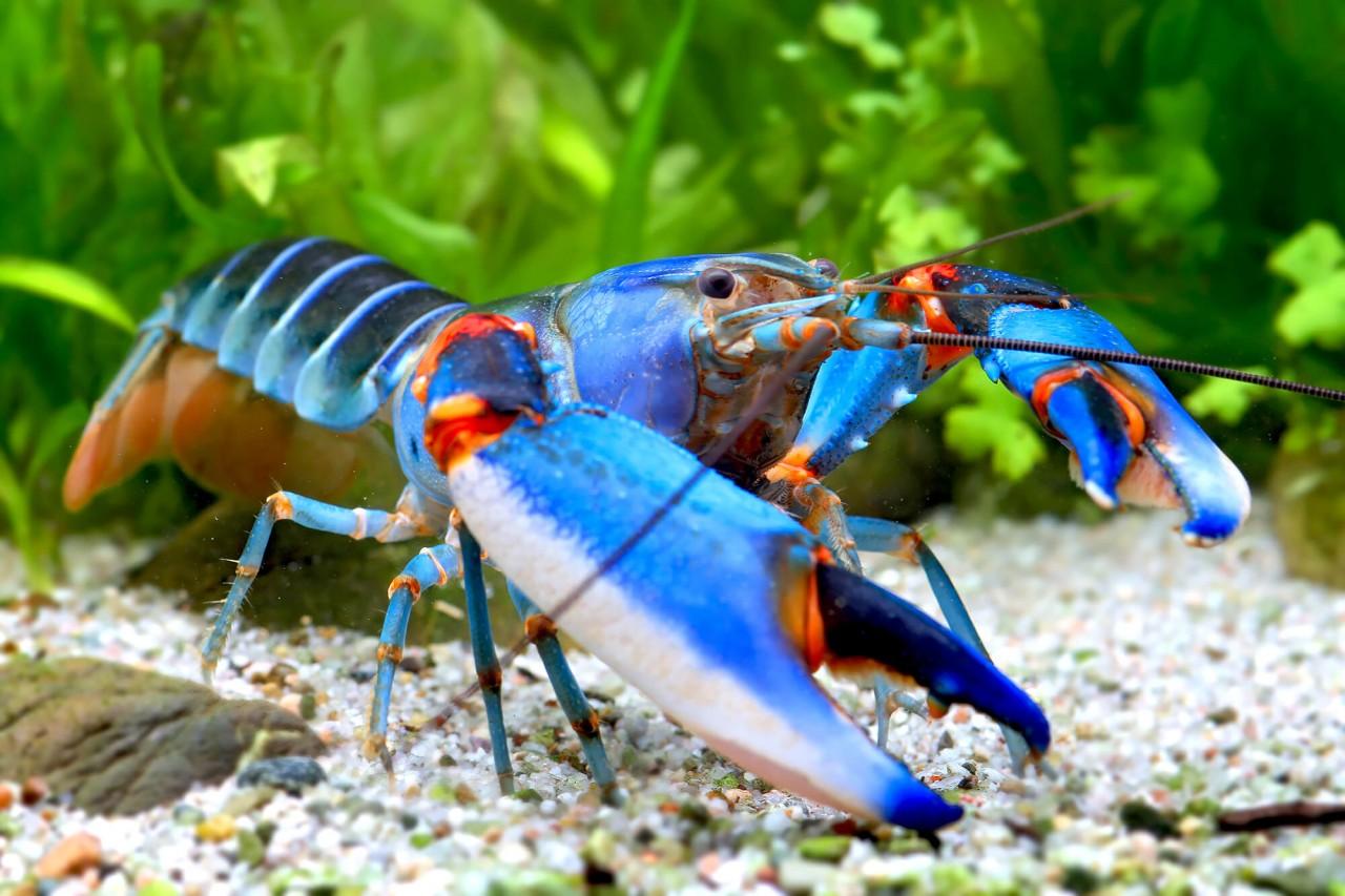 "Krebs ""blue kong blue claw"" - Cherax alyciae"