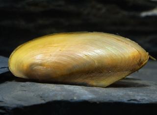 Tropische Muschel