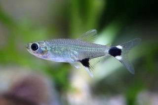 Augenflecksalmler - Aphyocharax paraguayensis