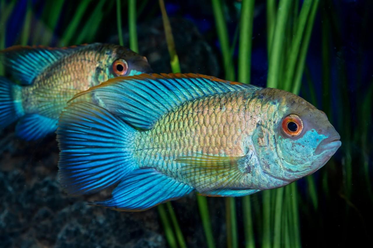 """Blaupunktbuntbarsch """"electric blue"""" - Andinoacara pulcher"""