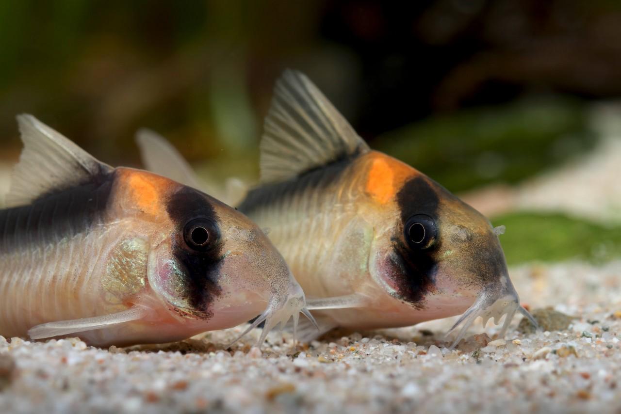 Burgess' Orangefleck Panzerwels - Corydoras burgessi