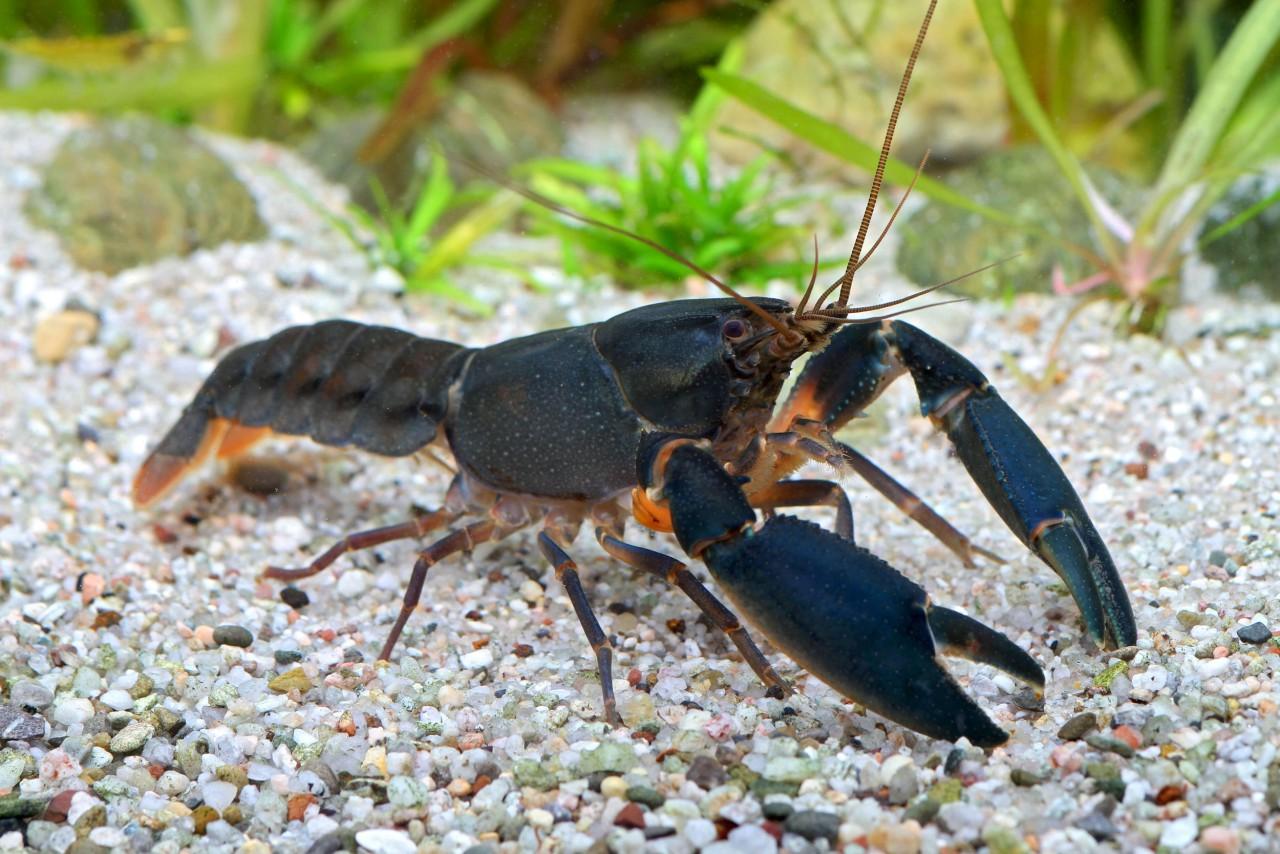 """Krebs """"black Scorpion"""" - Cherax sp."""