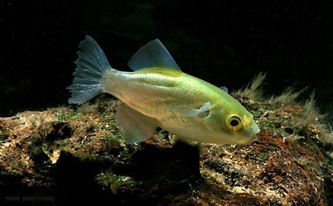 Goldkugelfisch - Chonerhinus (Auriglobus) modestus