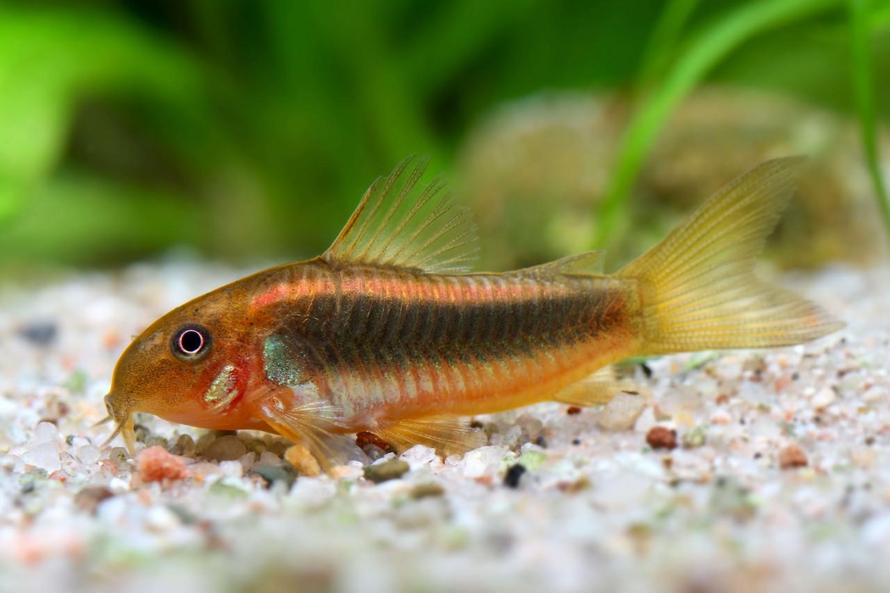 "Metallpanzerwels ""Gold red stripe"" - Corydoras aeneus var."