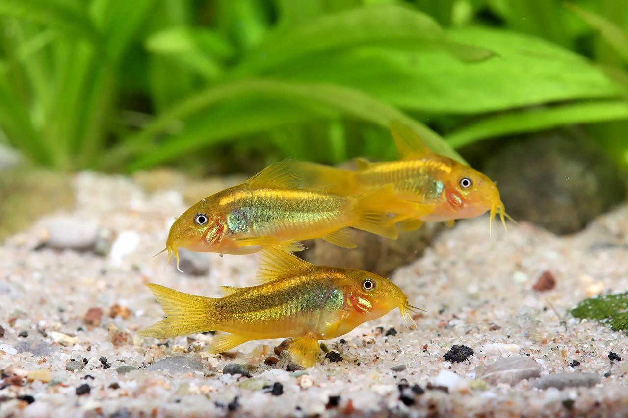 "Metallpanzerwels ""Gold stripe"" - Corydoras aeneus var."