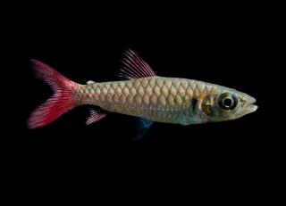 Rotflossen Großschuppensalmler - Chalceus macrolepidotus